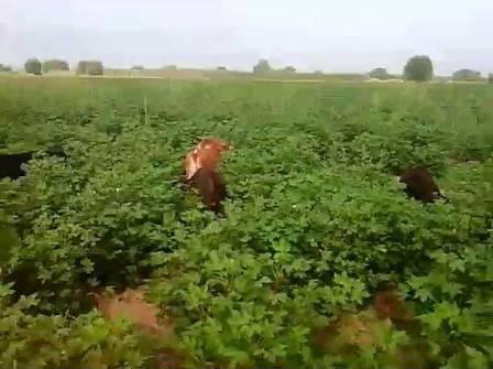 Beyləqanda 600 hektar pamqıq sahəsini kim məhv edir?-