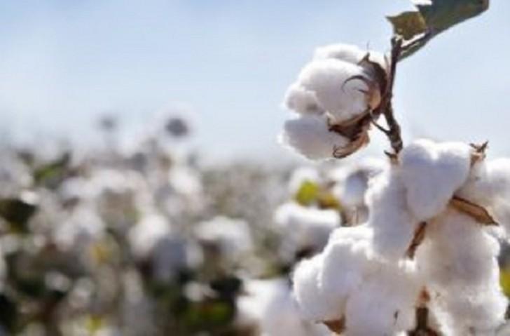 Pambığın fermerlərdən alış qiyməti 100 manat artırıldı