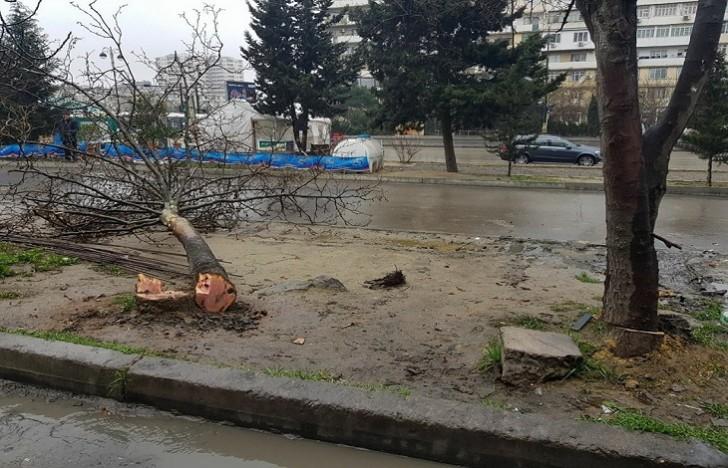 Həmin ərazini Nizami RİH satıb! – 5 ağacın kəsilməsi ilə bağlı ziddiyyət və İDDİA