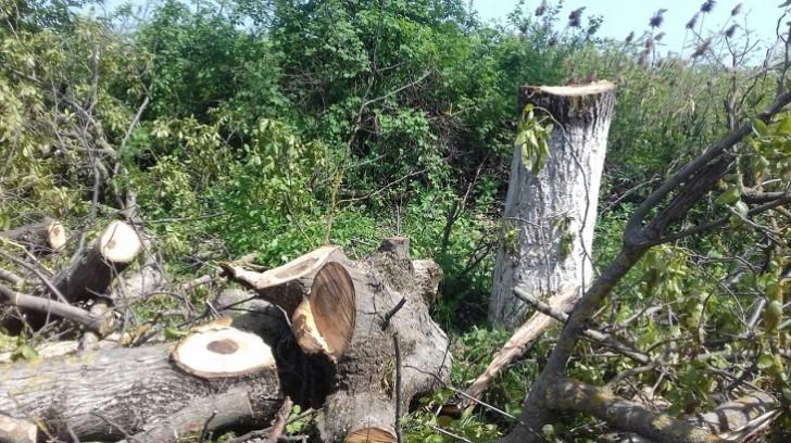 Qoz ağaclarının kəsilməsinə görə, 5500 manatlıq cərimə
